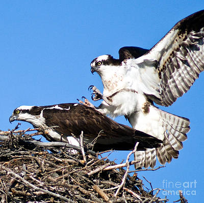 Photograph - Banff - Osprey 6 by Terry Elniski