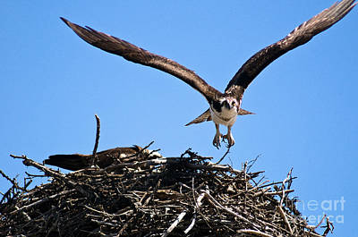 Photograph - Banff - Osprey 7 by Terry Elniski