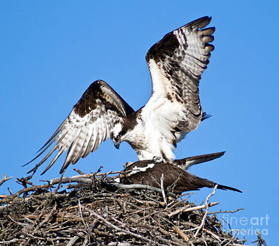 Photograph - Banff - Osprey 8 by Terry Elniski