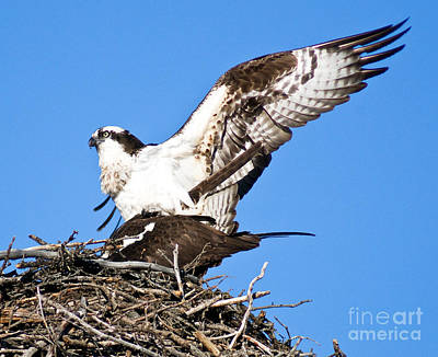 Photograph - Banff - Osprey 9 by Terry Elniski