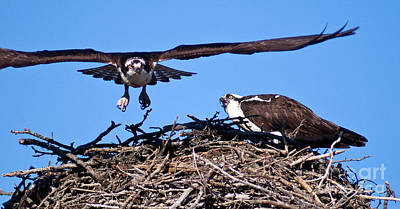 Photograph - Banff - Osprey 11 by Terry Elniski