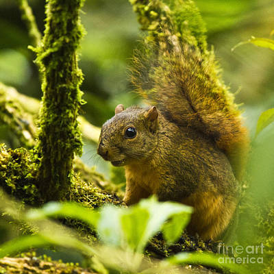 Mammals Photograph - Bang's Mountain Squirrel I by Heiko Koehrer-Wagner