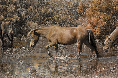 Feral Photograph - Banker Ponies by Betsy Knapp