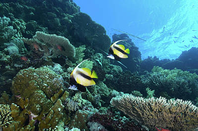 Photograph - Bannerfish, Red Sea, Egypt by Andreas Schumacher