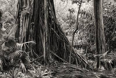 Photograph - Strangler Fig And Cypress Tree by Rudy Umans