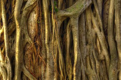 Tree Photograph - Banyan by Dustin  LeFevre