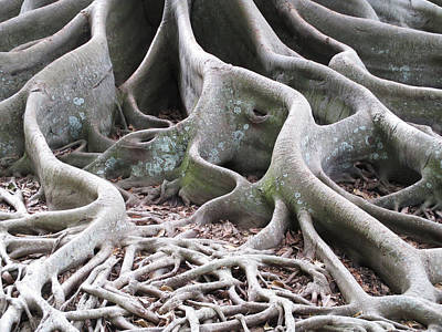 Photograph - Banyan Roots by Alison Stein