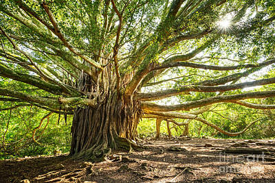 Banyan Tree Photograph - Banyan Star by Jamie Pham