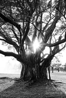 Photograph - Banyan Tree by Alison Tomich