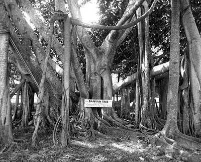 Banyan Tree Photograph - Banyan Tree by Retro Images Archive