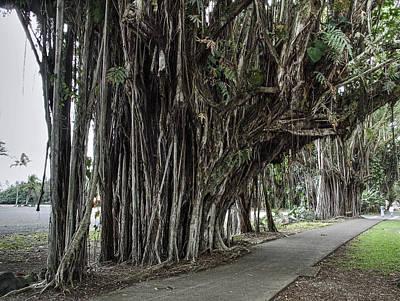Banyan Tree Walk In Hilo Hawaii Print by Daniel Hagerman