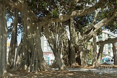 Banian Photograph - Banyan Trees 2 by Rod Jones