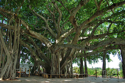 Photograph - Banyan Trees by Bob Sample