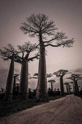 Photograph - Baobab Avenue by Linda Villers