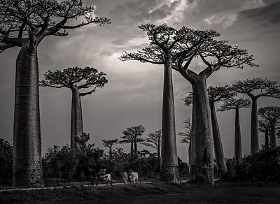 Photograph - Baobab Highway by Linda Villers