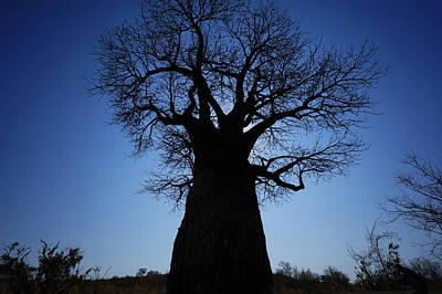 Baobab Photograph - Baobab In The Okavango Delta Botswana by Hiroya Minakuchi