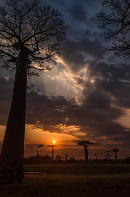 Photograph - Baobab Sunrays by Linda Villers