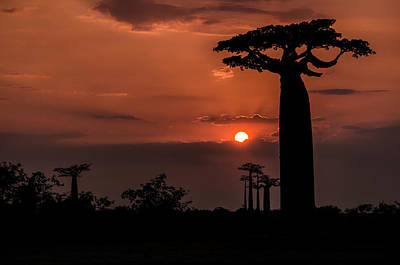 Photograph - Baobab Sunrise by Linda Villers