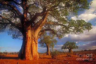 Baobab Photograph - Baobab Trees by Art Wolfe