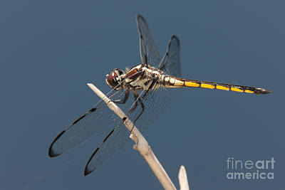 Photograph - Bar-winged Skimmer Dragonfly I by Clarence Holmes