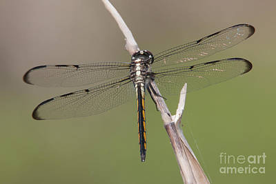 Photograph - Bar-winged Skimmer Dragonfly II by Clarence Holmes