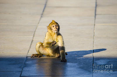 Photograph - Barbary Ape And Chewing Gum 2 by Deborah Smolinske