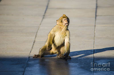 Photograph - Barbary Ape And Chewing Gum 3 by Deborah Smolinske