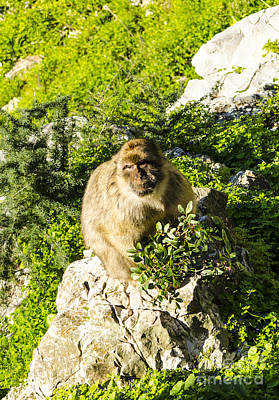Photograph - Barbary Ape by Deborah Smolinske