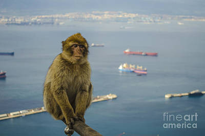 Photograph - Barbary Ape On A Fencepost by Deborah Smolinske