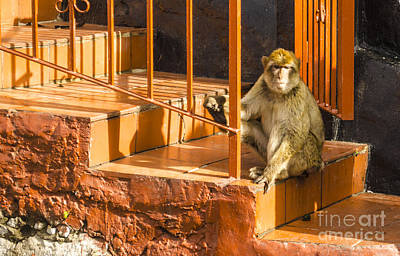 Photograph - Barbary Ape On Steps by Deborah Smolinske