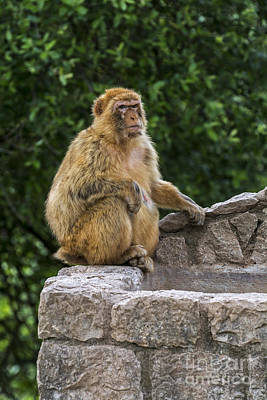 Photograph - Barbary Macaque by Arterra Picture Library