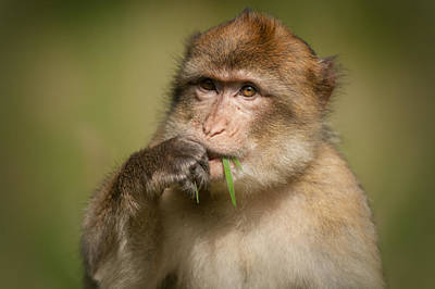 Barbary Macaque Art Print by Andy Astbury
