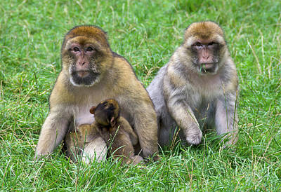 Ape Photograph - Barbary Macaques And Baby by Nigel Downer