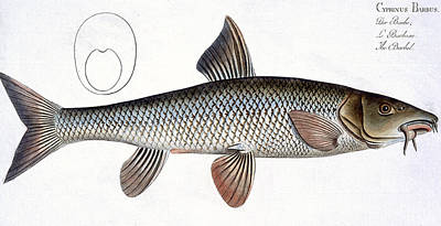 Angling Painting - Barbel by Andreas Ludwig Kruger