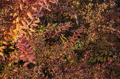 Photograph - Barberry In Autumn by Ross Powell