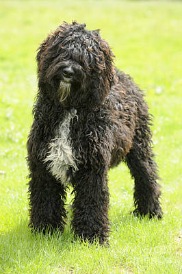 Waterdog Photograph - Barbet Dog by John Daniels