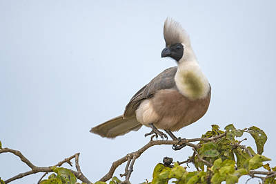 Go Away Photograph - Bare-faced Go-away-bird Corythaixoides by Panoramic Images