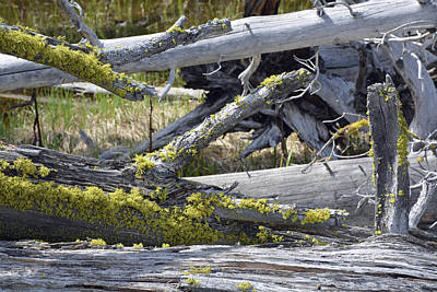 Bare Logs And Lichen In Yellowstone Art Print by Bruce Gourley
