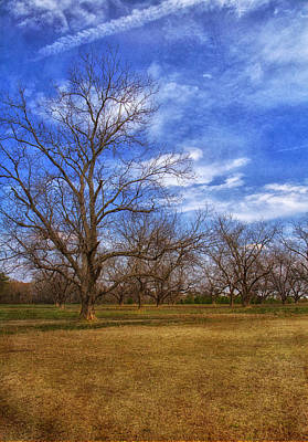 Bare Pecan Trees Art Print by Kim Hojnacki