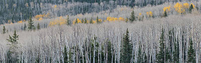 Bare Quaking Aspens And A Few Engelmann Art Print by Panoramic Images