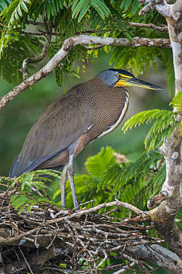 Tortuguero Photograph - Bare-throated Tiger Heron Tigrisoma by Panoramic Images