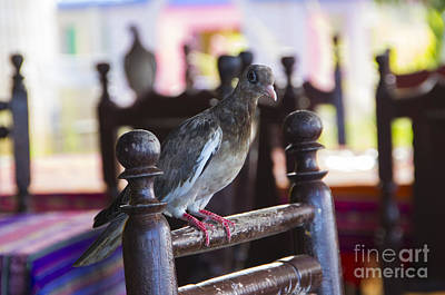 Photograph - Bared Eye Pigeon by Louise Magno