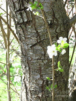 Photograph - Bark And Blossoms by Laura Hamill