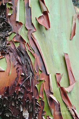 Photograph - Bark Peeling On Arbutus by Sharron Cuthbertson