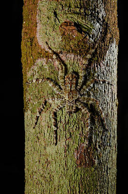 Photograph - Bark Spider by Francesco Tomasinelli