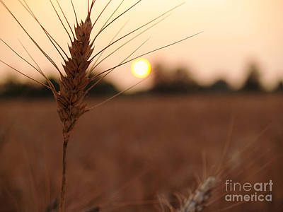 Richland County Photograph - Barley Catches The Setting Sun In Autumn - Pennsylvania by Anna Lisa Yoder