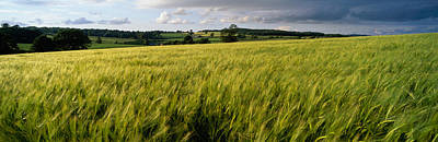 U.k Photograph - Barley Field, Wales, United Kingdom by Panoramic Images