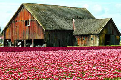 Barn And Tulips Art Print