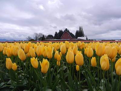 Barn And Yellow Tulips Art Print by Karen Molenaar Terrell