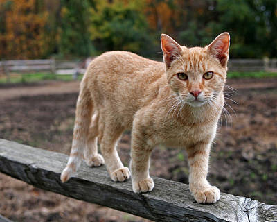 Photograph - Barn Cat by Rona Black